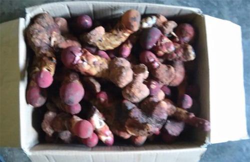 Bán nấm ngọc cẩu hcm