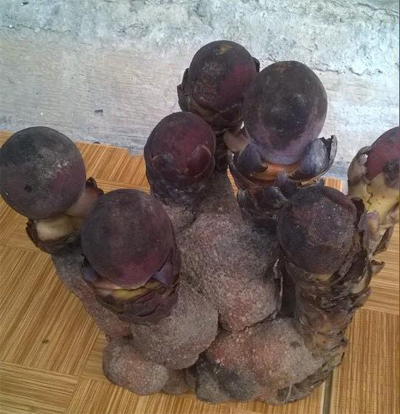 Bán nấm ngọc cẩu tươi