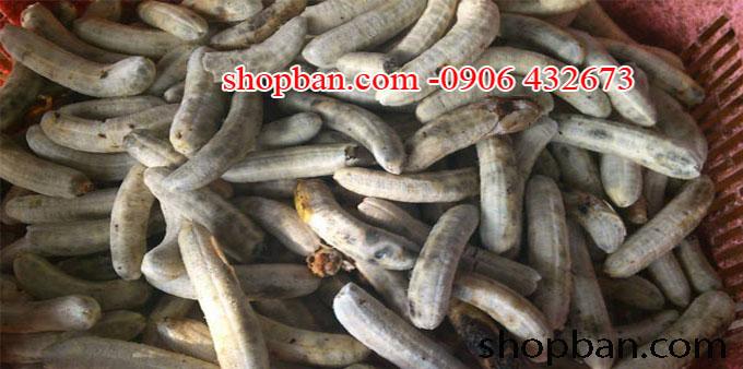 chuối hột rừng shopban.com