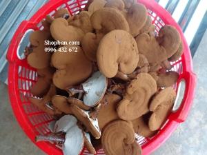 Nấm Linh Chi Đỏ  nuôi trồng tại Việt Nam