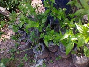 Giá bán cây giống cây xương khỉ, cây bìm bịp, cây mãnh cộng